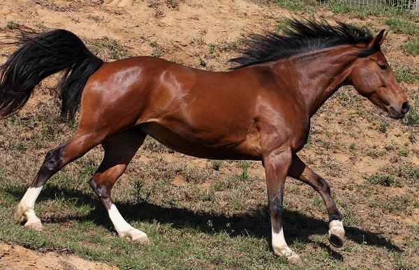 Glanzende vacht van een paard